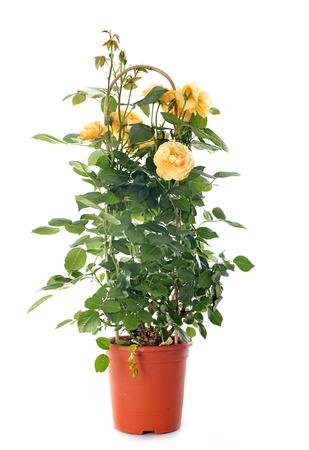 rose-bush: yellow rosebush in front of white background Zdjęcie Seryjne