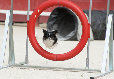 agility dog: portrait of a cute purebred chihuahua in a competition of agility