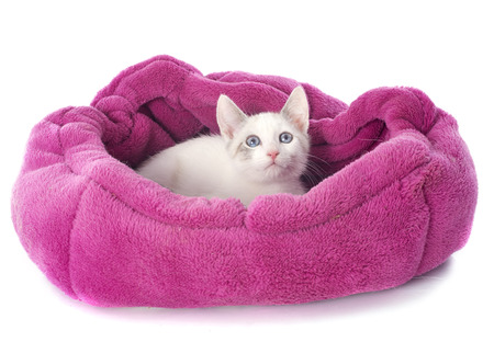 young white kitten in front of white background photo