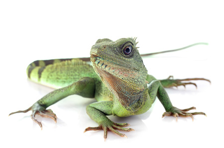 Chinese water dragon in front of white  photo