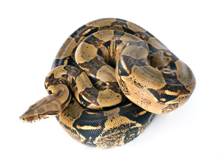 constrictor: Boa constrictor in front of white