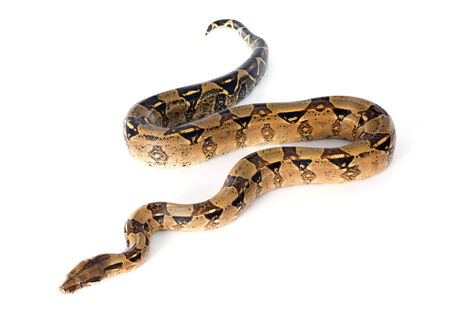 Boa constrictor in front of white background