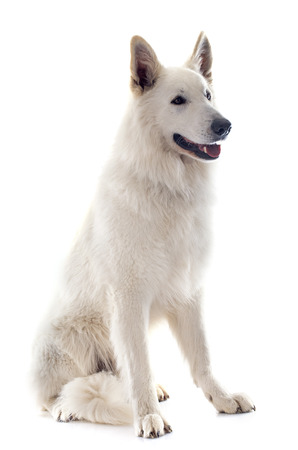 swiss culture: Purebred White Swiss Shepherd in front of white background Stock Photo