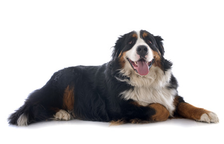 mountain dog: portrait of a purebred bernese mountain dog in front of white background Stock Photo