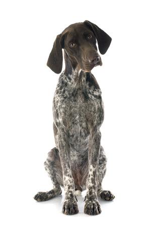 Duitse staande hond voor witte achtergrond Stockfoto