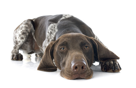 pointer dog: German Shorthaired Pointer in front of white background