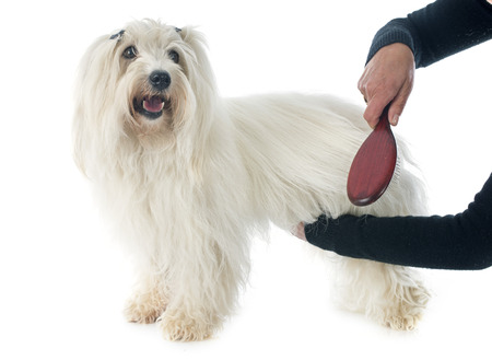 dog grooming: a woman brushing coton de tulear in front of white background