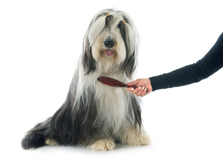 hair brush: bearded collie in front of white background Stock Photo
