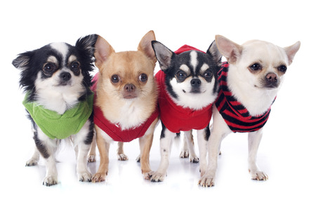 dressed chihuahuas in front of white background photo