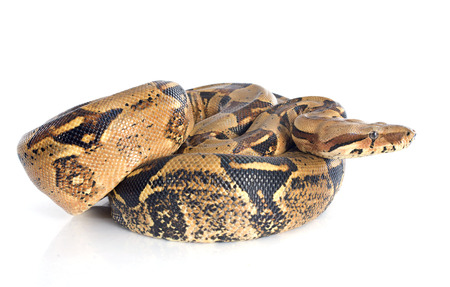 constrictor: Boa constrictor in front of white background