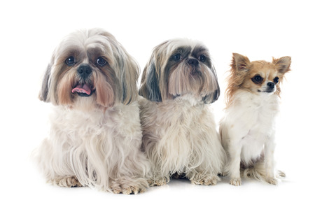 long hair chihuahua: purebred Shih Tzu and chihuahua in front of white background