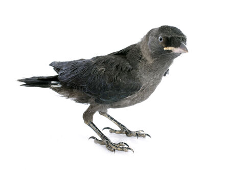 jackdaw: young Western jackdaw in front of white background
