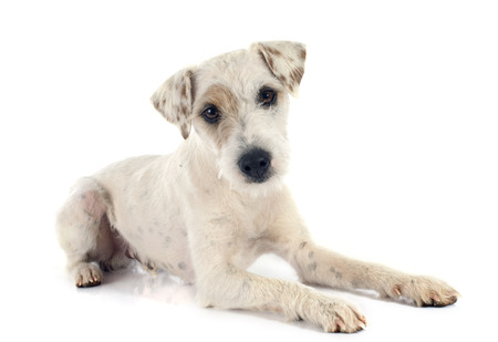 jack russell terrier: parson russell terrier in front of white background