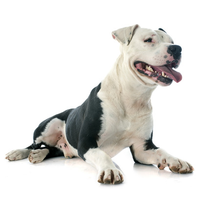 american staffordshire terrier: purebred american staffordshire terrier in front of white background