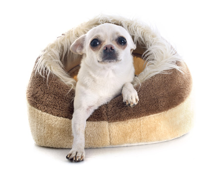 kennel: chihuahua in dog bed in front of white background