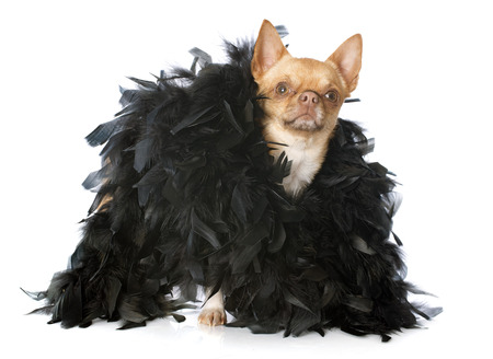 feather boa: dressed chihuahua in front of white background