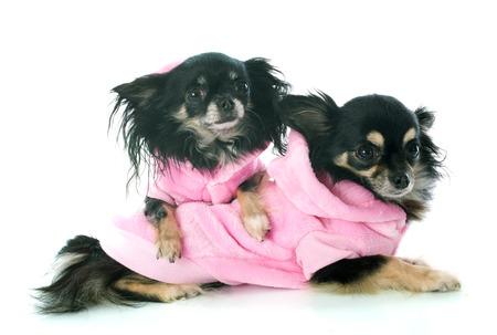 perros vestidos: chihuahuas vestidos delante de fondo blanco