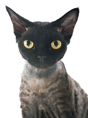 devon: devon rex cat in front of white background