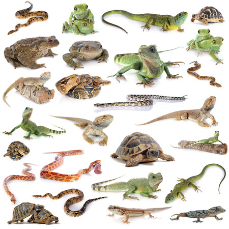 reptile and amphibian in front of white background Stock Photo