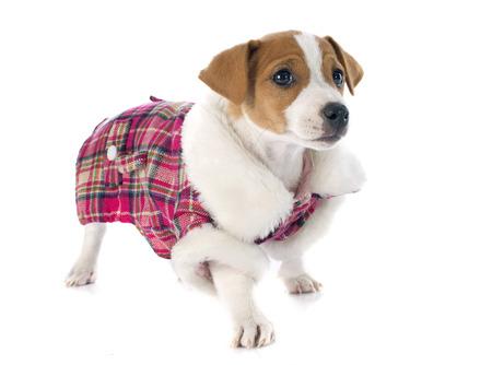 perros vestidos: retrato de un cachorro de pura raza jack russell terrier en estudio