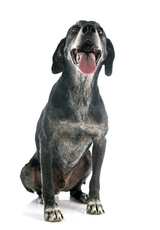 old labrador retriever in front of white background photo