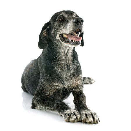 old labrador retriever in front of white background