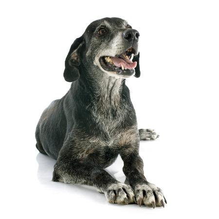 oude labrador retriever in de voorkant van de witte achtergrond