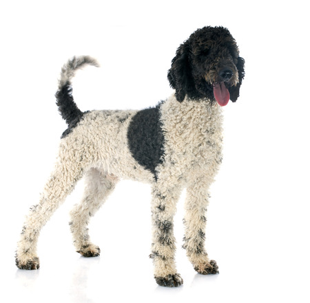 Portuguese Water Dog in front of white background photo