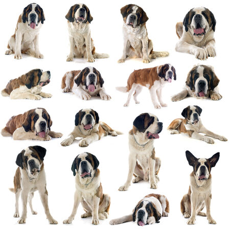 large group of animals: group of saint bernard in front of white background Stock Photo