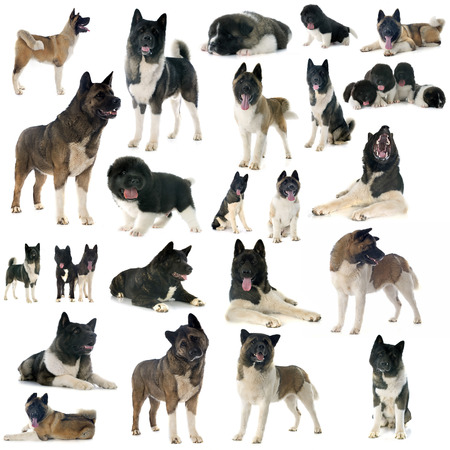 group of american akita in front of white background photo
