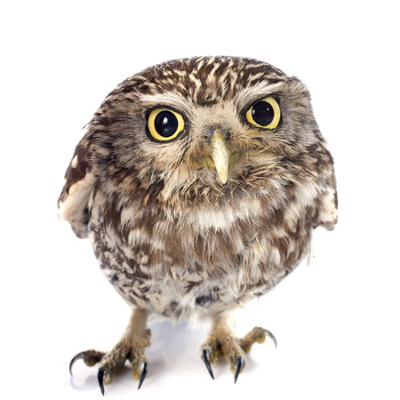 athene: Little owl in front of white background