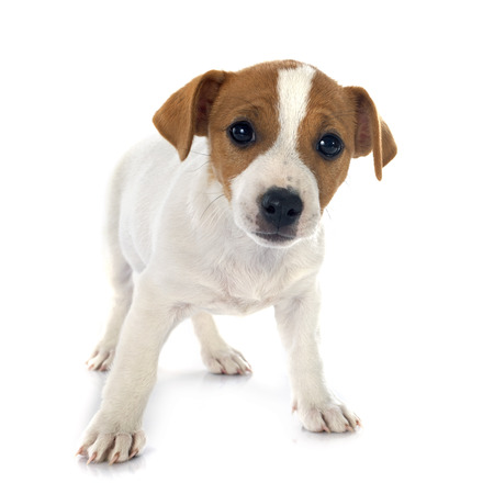 jack russel: portrait of a purebred puppy jack russel terrier in studio