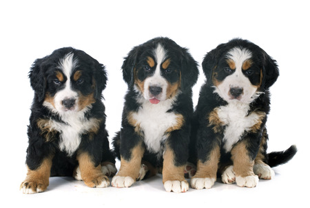 bernese dog: three puppies bernese mountain dog in front of white background