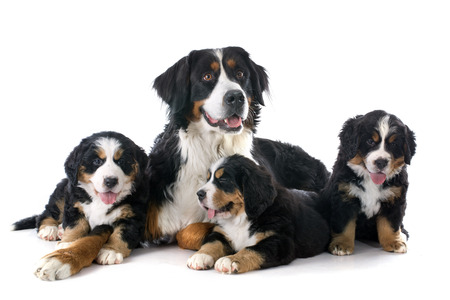 pupies and adult bernese mountain dog in front of white background Stock Photo