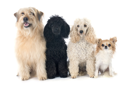 pyrenean: poodles, chihuahua and pyrenean shepherd in front of a white background