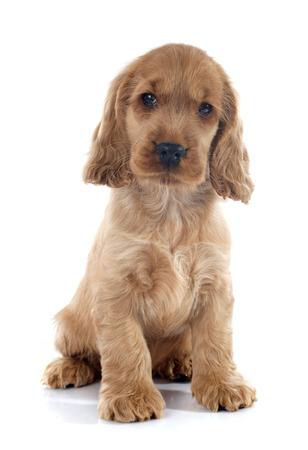 english cocker spaniel: portrait of a  purebred puppy english cocker in a studio