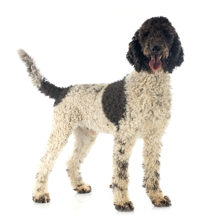 Portuguese Water Dog in front of white background Banco de Imagens