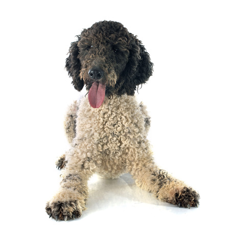 Portuguese Water Dog in front of white background