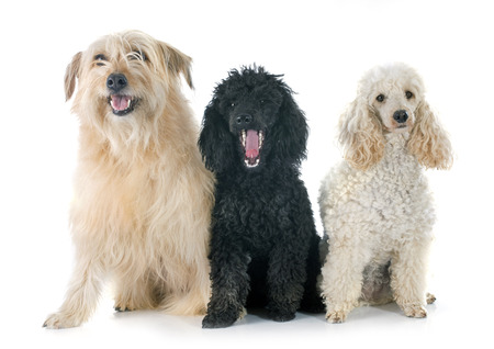 pyrenean: poodles and pyrenean shepherd in front of a white background