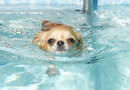 Portret van een schattige rasechte chihuahua die zwemt