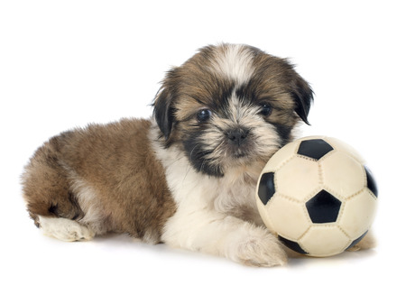 shihtzu: puppy shitzu in front of white background Stock Photo