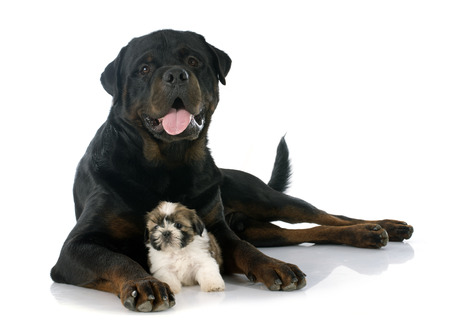 guar: puppy shitzu and rottweiler in front of white background