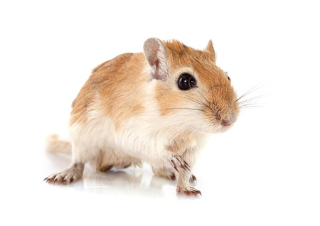 little gerbil in front of white background Stock Photo