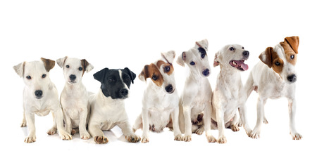 jack russel: group of  jack russel terrier in front of white background Stock Photo