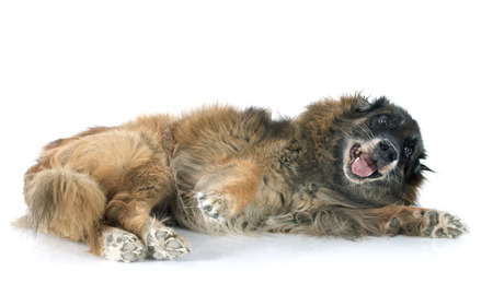 old belgian shepherd in front of white background photo