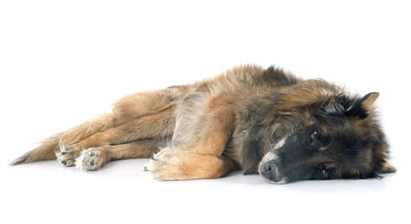 dead dog: old belgian shepherd in front of white background Stock Photo