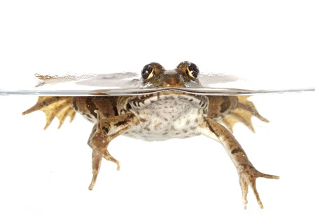 common frog in front of white background Stock Photo