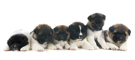 puppy american akita in front of white background photo