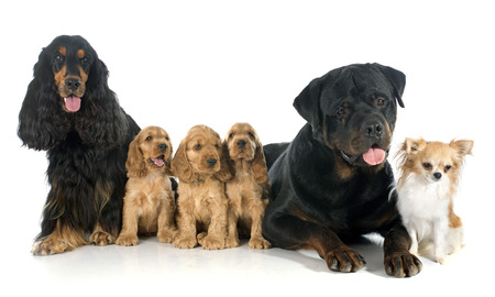 english cocker spaniel: portrait of english cockers, chihuahua and rottweiler in a studio