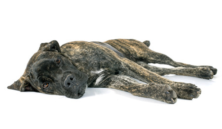 cane corso: canna cucciolo di corso di fronte a sfondo bianco Archivio Fotografico